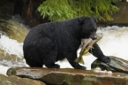 black-bear-fishing
