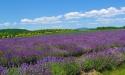 lavender ile dorleans.jpg